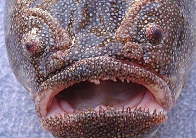 科學家發現能在水中憋氣的魚