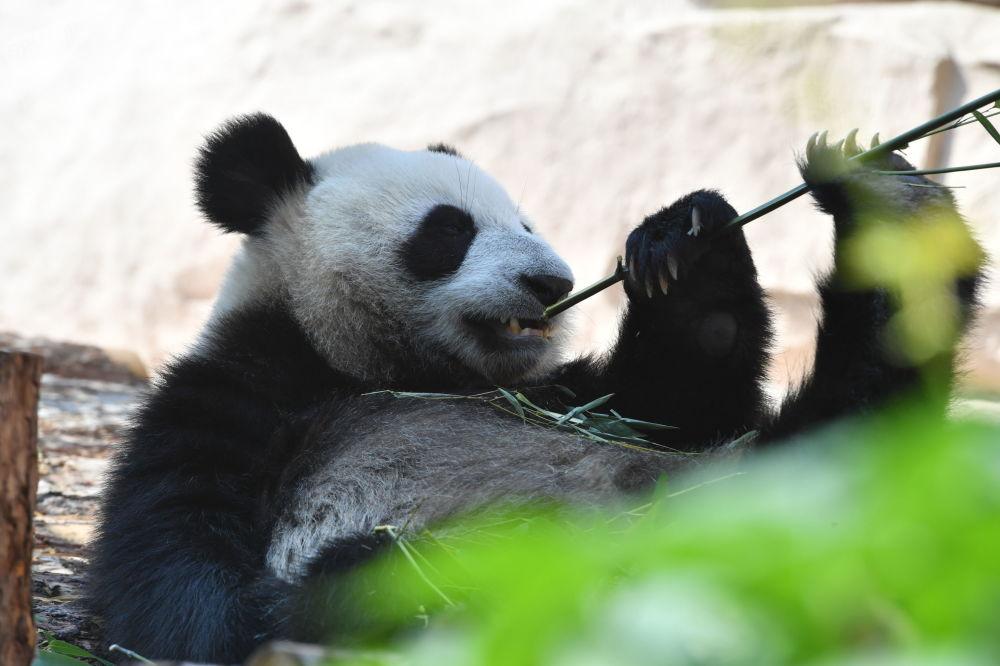 由中國移交給莫斯科動物園的大熊貓