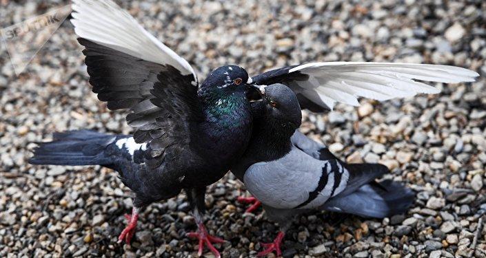 消防員為法國東南部2500只鴿子送「救命水」