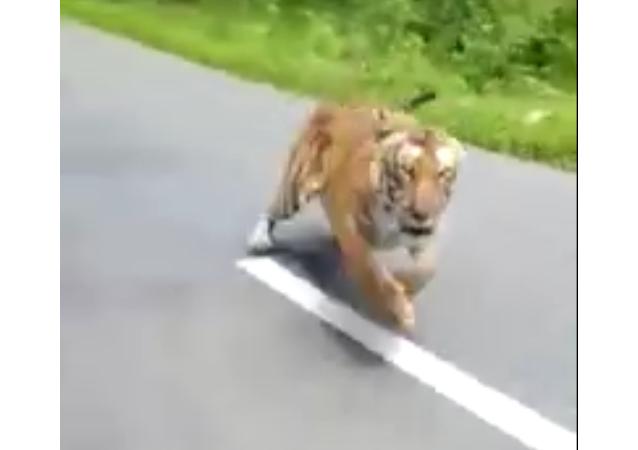 印度拍到老虎追逐騎摩托車的人