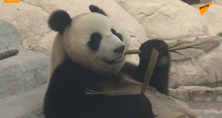 大熊貓日常生活在線直播