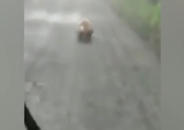 Wild bear stuns car driver with its 'lightning' speed as it runs on a mountain path