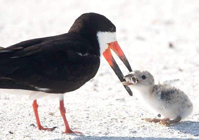 一只试着喂雏鸟烟头的鸟被拍下