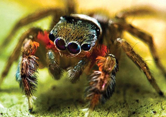 科学家发现五个俄罗斯未出现过的蛛蛛物种