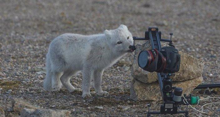 北極狐「牙啃」中國遊客相機