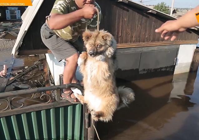 俄救援隊拯救伊爾庫茨克州洪災中被困動物
