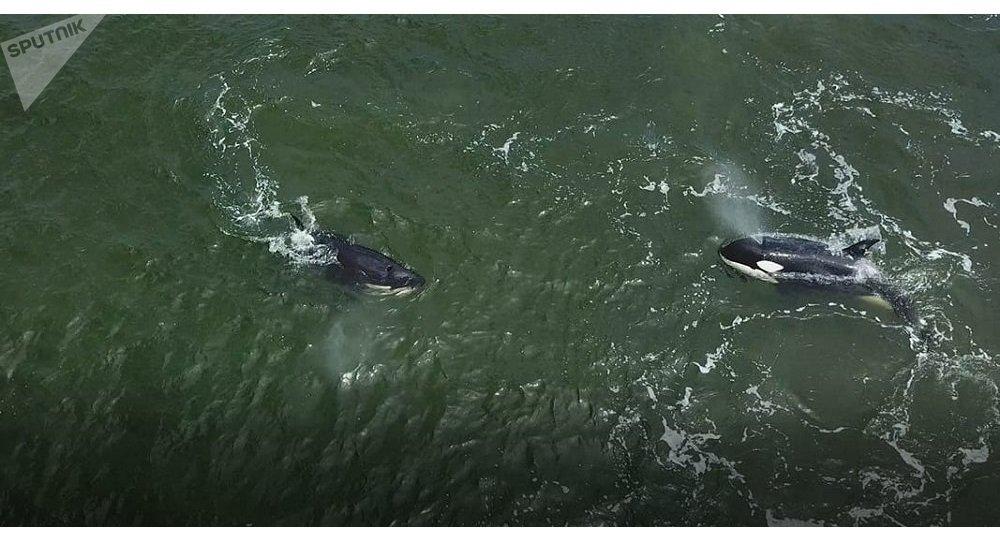 俄科學家11日將著手從「鯨魚監獄」放歸第二批虎鯨