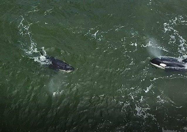 """俄科学家11日将着手从""""鲸鱼监狱""""放归第二批虎鲸"""