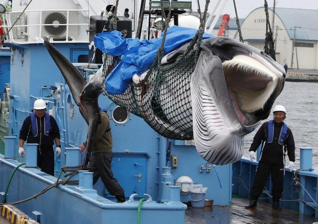日本的陷阱:恢复商业捕鲸将如何影响国家形象?