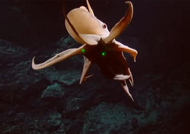 """绝无仅有的有""""耳朵""""的章鱼被拍下"""