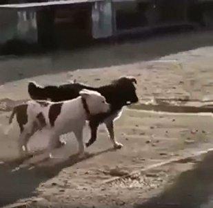 流浪狗解救纯种狗