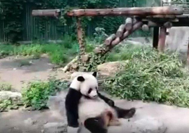 北京动物园游客用石头砸大熊猫