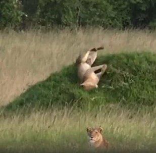 """肯尼亚狮子玩""""滚坡"""""""