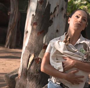 墨西哥小袋鼠失去母亲后被收养