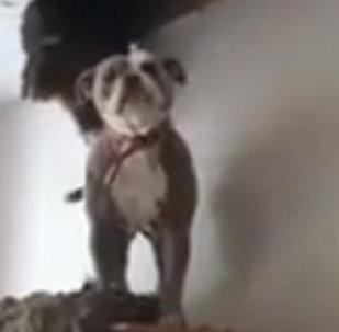 一隻從房頂上掉下的肥犬逗樂網友