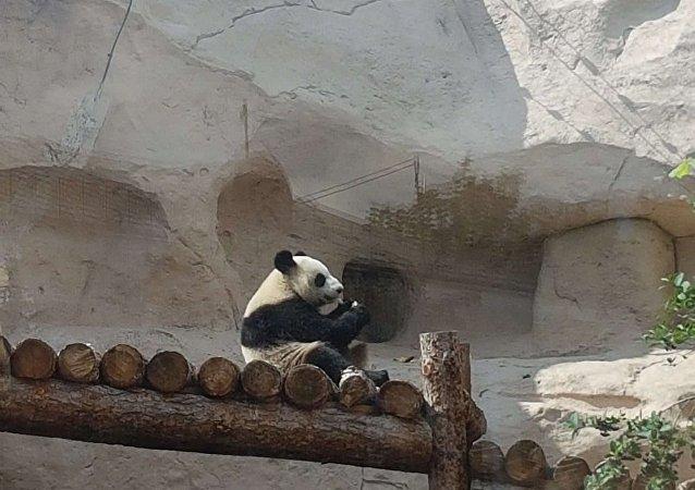 """大熊猫""""丁丁""""和""""如意""""将在莫斯科动物园迎来旅俄的第一个生日"""