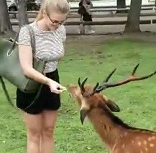世界上最有礼貌的鹿