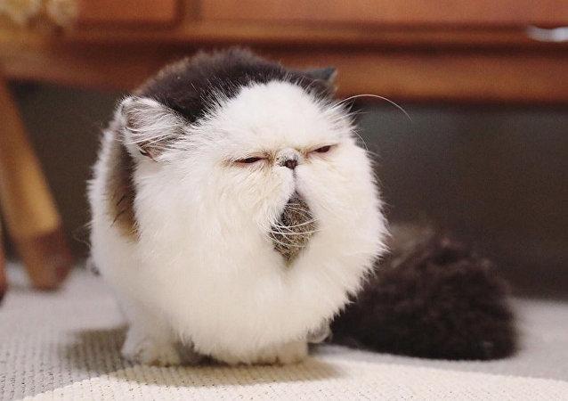 下巴上長鬍子的貓征服網絡