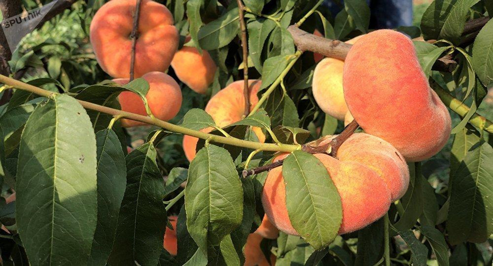 """俄罗斯民众能否有机会吃上中国这款""""网红""""蜜桃?"""