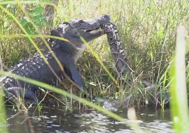 實拍4米長蟒蛇與鰐魚的生死搏鬥