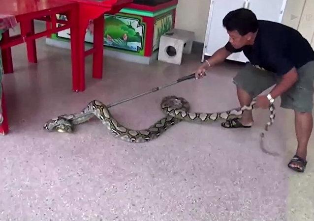 5米蟒蛇藏身泰國的中國寺廟