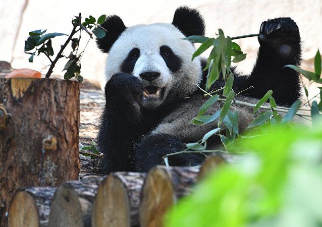 莫斯科动物园介绍两只中国大熊猫的生活