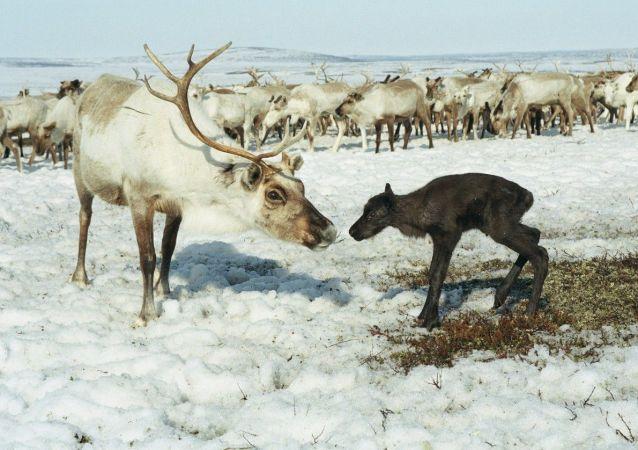 学者:气候变化导致挪威斯匹次卑尔根群岛大批驯鹿死亡