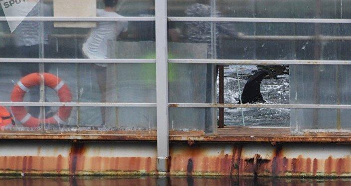 """""""鲸鱼监狱""""19头白鲸在俄滨海边疆区被放生"""