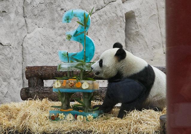 """雄性大熊猫""""如意"""" 2016年7月31日出生于中国大熊猫保护研究中心雅安碧峰峡基地。"""
