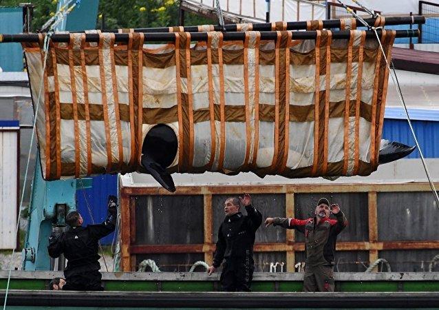 """全俄渔业和海洋研究所:第三批""""鲸鱼监狱""""三只虎鲸将运往放归地"""