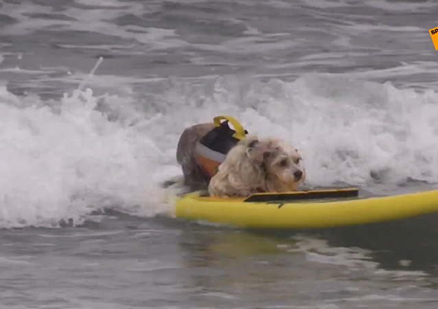 加州狗狗冲浪赛