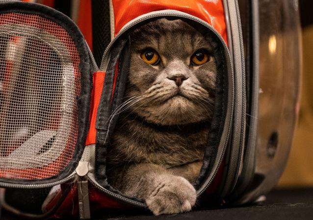 俄羅斯男子出售可治療宿醉的貓咪 標價1500萬盧布