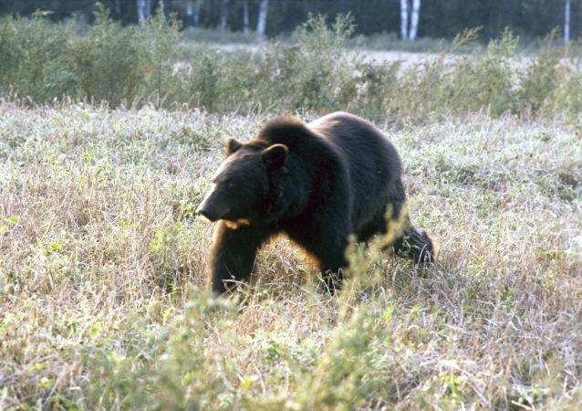 俄罗斯83岁老妇大吼一天一夜将野熊吓退