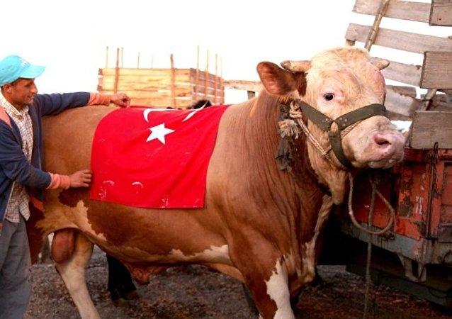 土耳其的一头牛被起名为S-400