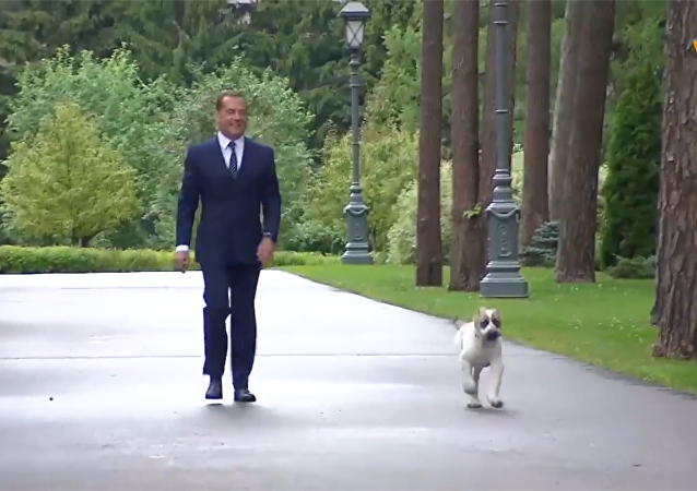 梅德韦杰夫将获赠阿拉拜小狗养在莫斯科郊外官邸