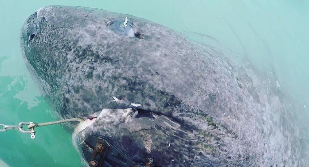 科学家发现500岁格陵兰睡鲨