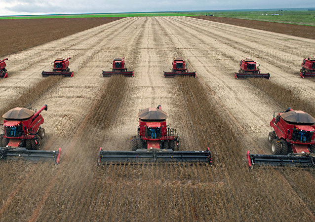 Combine harvesters crop soybeans.