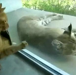 猞猁VS貓