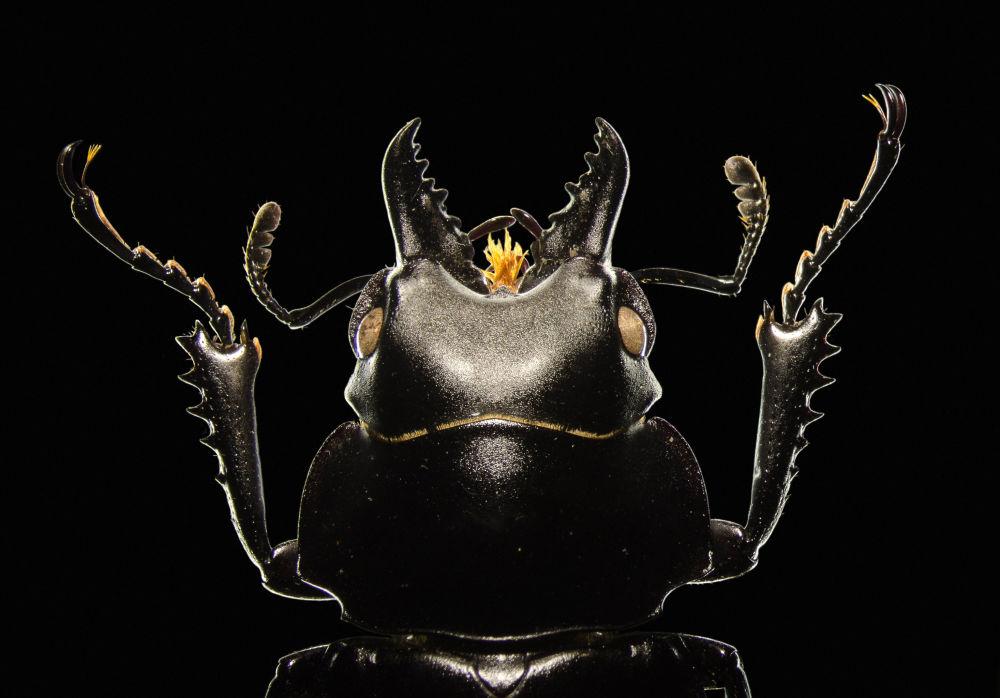 《欧洲深山锹形虫》,维克多•西科拉