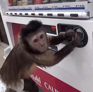 猴子试图在自动售卖机上买饮料