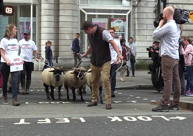 """英反脱欧民间组织""""赶羊上街""""以示抗议"""