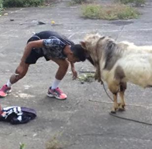 菲律賓男子挑戰山羊