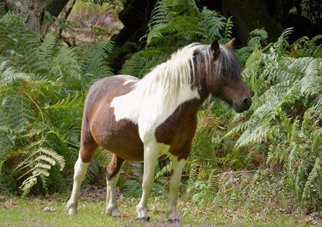 英国发现一匹长着长颈鹿斑纹的马
