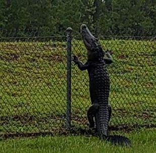 美國一條鰐魚翻過圍欄