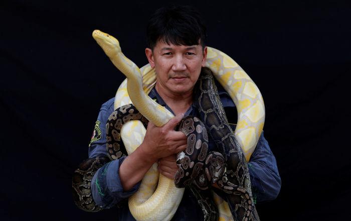 著名的捕蛇手、消防员Pinyo Pukpinyo 同在曼谷捕到的黄金蟒为摄影师摆造型。