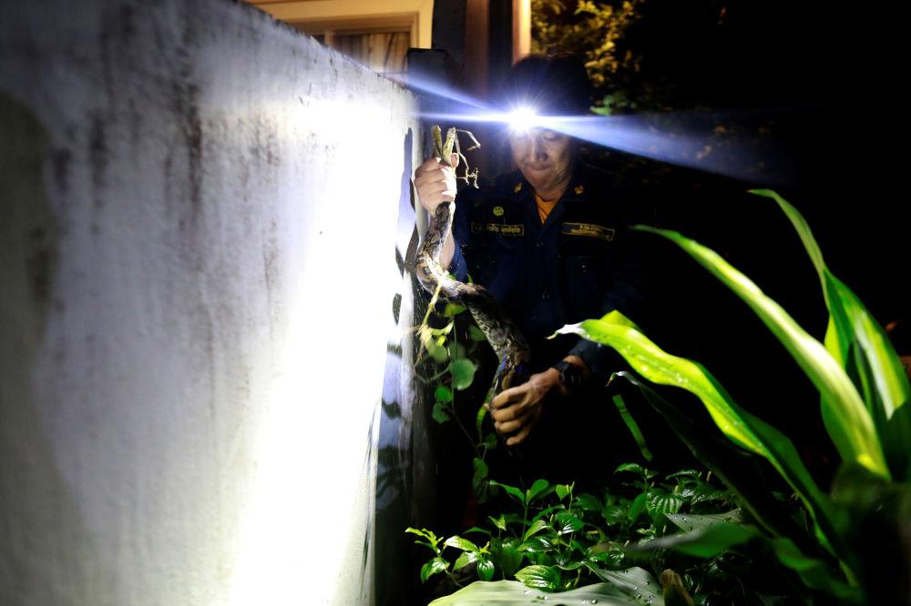 消防员Pinyo Pukpinyo在曼谷捕捉蟒蛇。