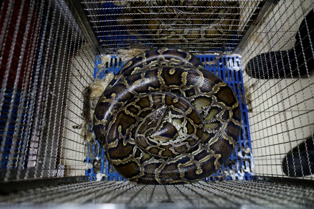 曼谷消防站内笼底蜷着的蛇。