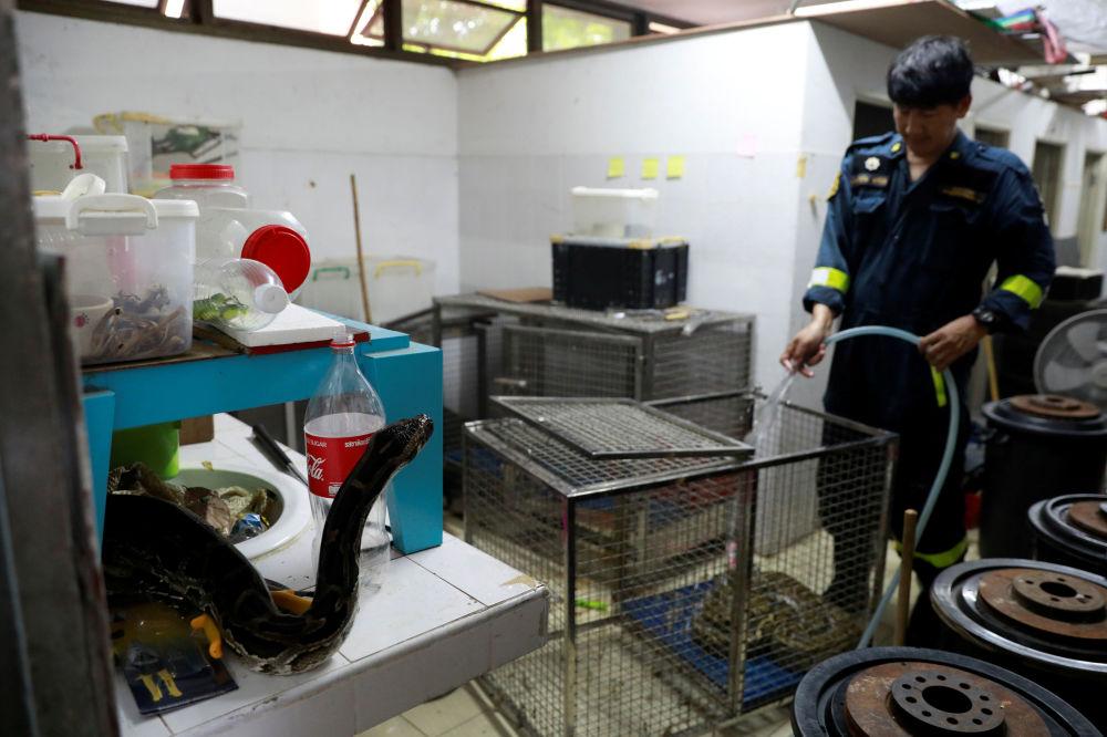 泰国曼谷消防站清洗蛇笼。