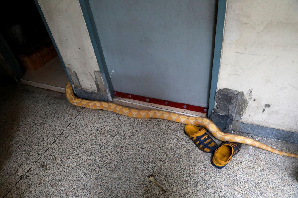 泰国曼谷消防车车库内的蟒蛇。