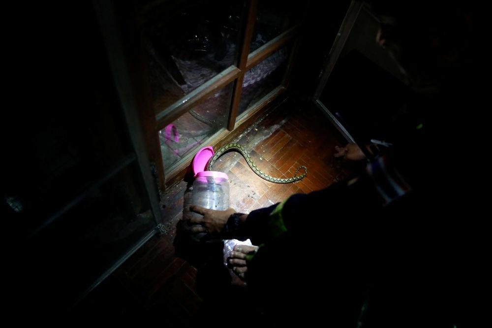 泰国曼谷消防员Pinyo Pukpinyo在家里抓蟒蛇。
